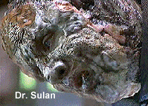 Dr. Sulan - Vidian who extracted Klingon DNA from B'Elanna and created a human and a Klingon B'Elanna - Brian Markinson